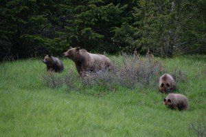 grizzly bears -Trial History