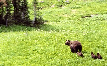 Chilcotin Holidays Lodge Trip Packages-Grizzly Bears
