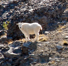 Chilcotin Holidays Lodge Trip Packages-Mountain Goat