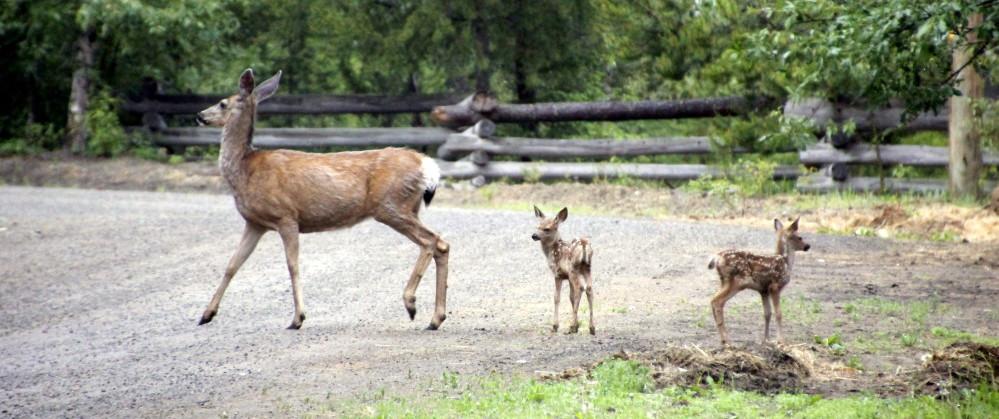 deer_fawns-contact